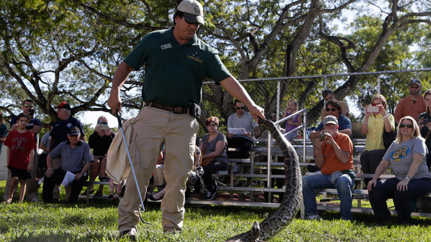 Fla. python hunt draws hundreds