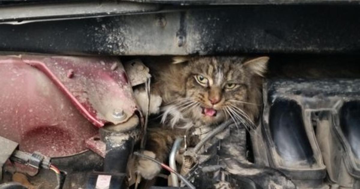 washington woman finds cat wedged behind her car engine. Black Bedroom Furniture Sets. Home Design Ideas