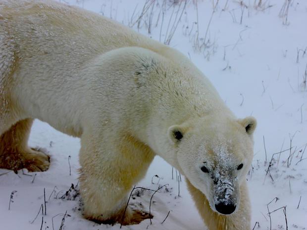 A gathering of polar bears