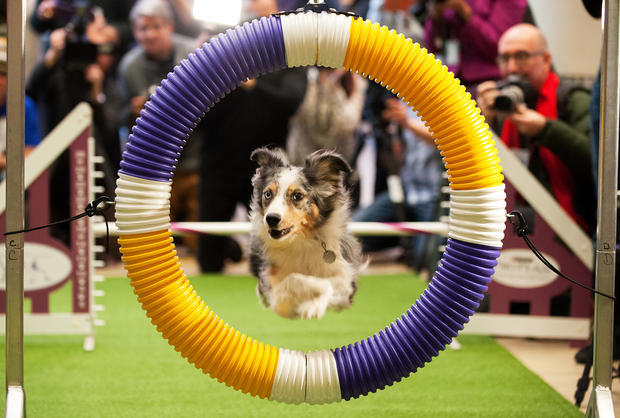 Westminster Dog Show debuts 7 new breeds