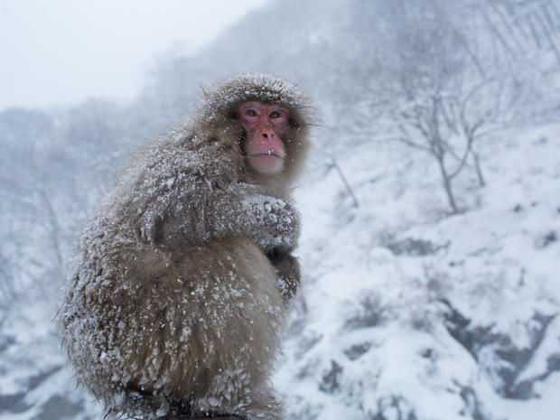japanese macaques snow monkeys of japan pictures cbs news