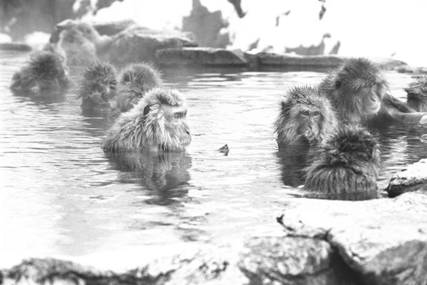 Snow monkeys of Japan