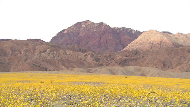 death-valley-flowers.jpg