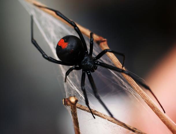 13  Spider in black - The world's most dangerous spiders