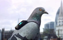 Pigeons wear backpacks to detect pollution in London