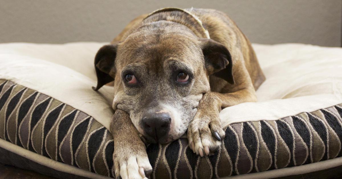 Feds urge halt to all sales of pig-ear dog treats in