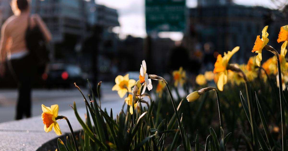 Daffodils Planted Along Marathon Route To Mark Third Anniversary Of