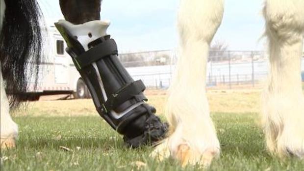 prosthetic-hoof-5pkg-tr0ansfer.jpg