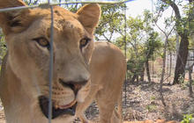 Rescued circus lions make new home in South Africa
