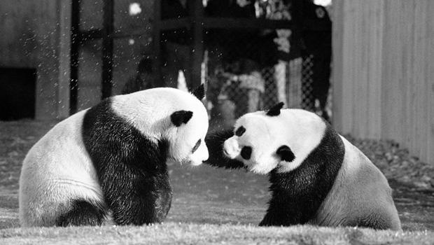 pandas-ling-ling-hsing-hsing-620-ap7404201290.jpg