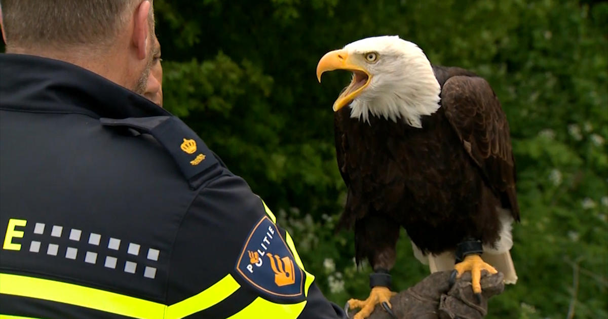 Watch out, drones: This bald eagle can take you down - CBS News