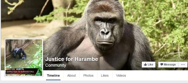 outrage after gorilla harambe killed when child falls into exhibit
