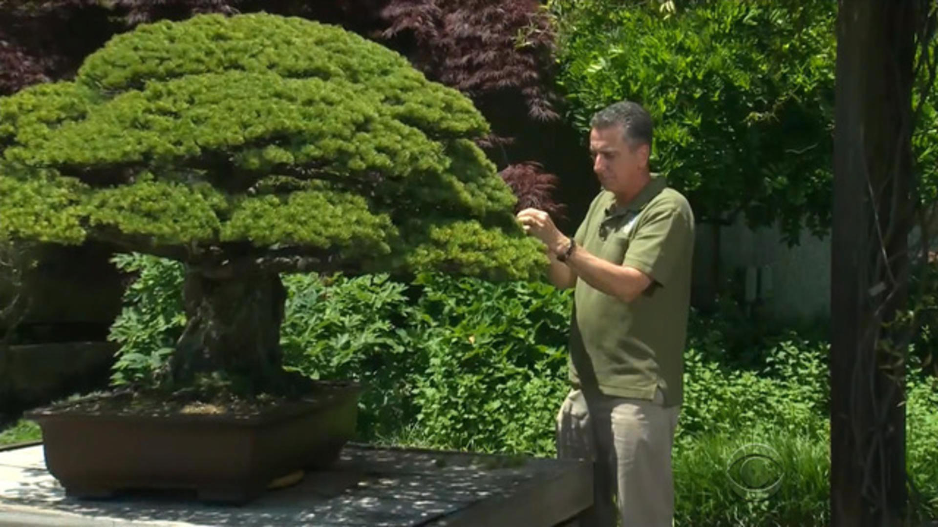 Bonsai Tree Aids Japanese And American Relations Cbs News