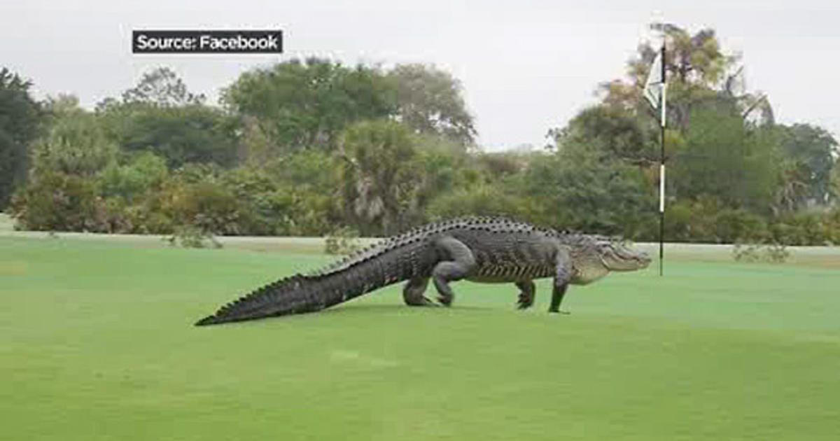Fore Giant Gator Strolls Across Florida Golf Course Cbs News