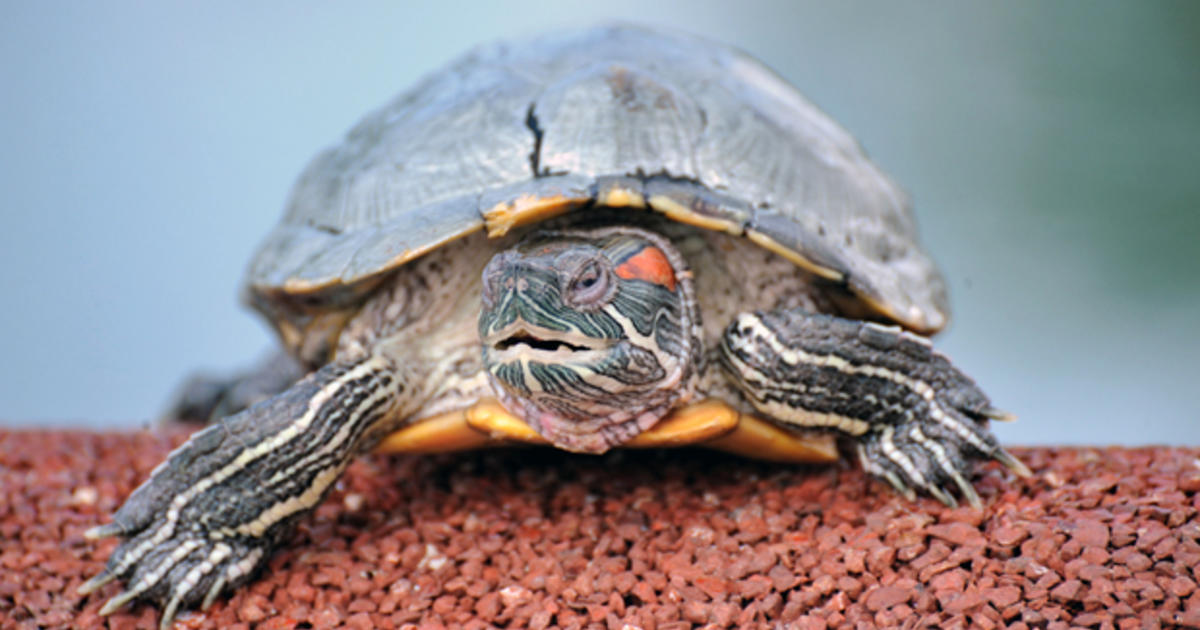 Authorities euthanize turtle amid reports it was fed sick puppy in science class