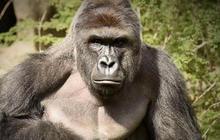 Police investigate boy's parents in Cincinnati gorilla's death
