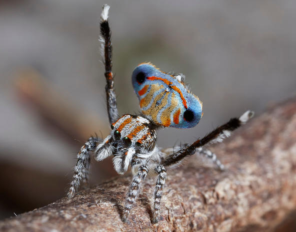 Flamboyant peacock spiders