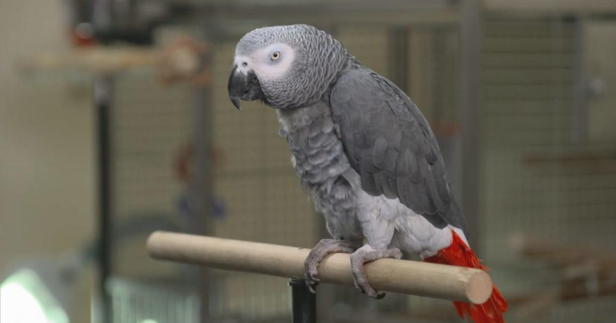Could a parrot serve as witness in Michigan murder trial