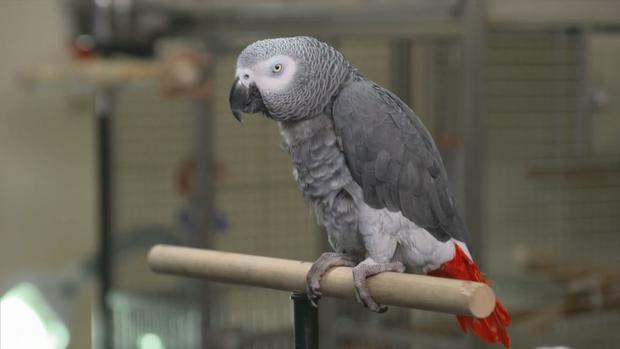 ctm0610-african-grey-parrot.jpg