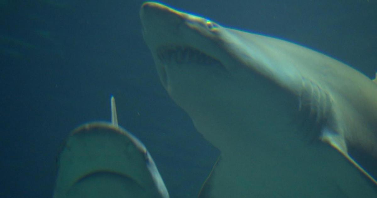 Remembering The Titanic Of Shark Attacks Cbs News