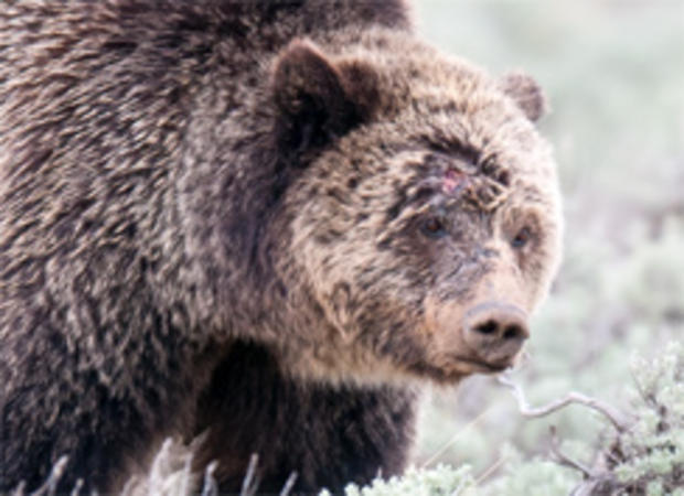 injured-sow-grizzly-bear-yellowstone-244.jpg