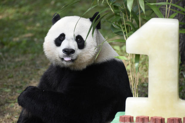Giant panda Bei Bei turns one