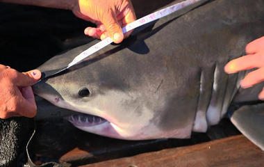 Ocearch discovers great white shark birth site off NY coast