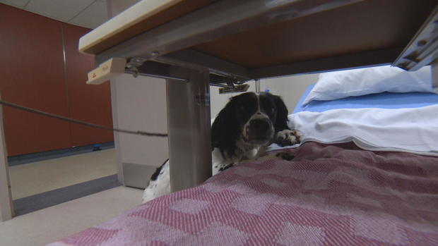 Dog Trained To Track Down Superbugs At Vancouver Hospital