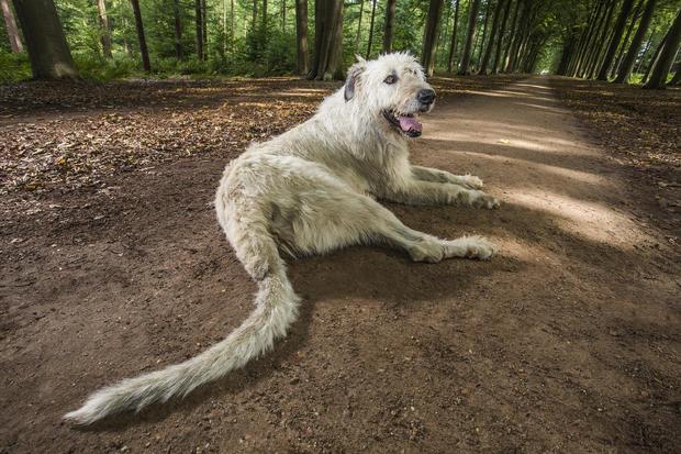 keon-longest-tail-on-a-dog-339.jpg