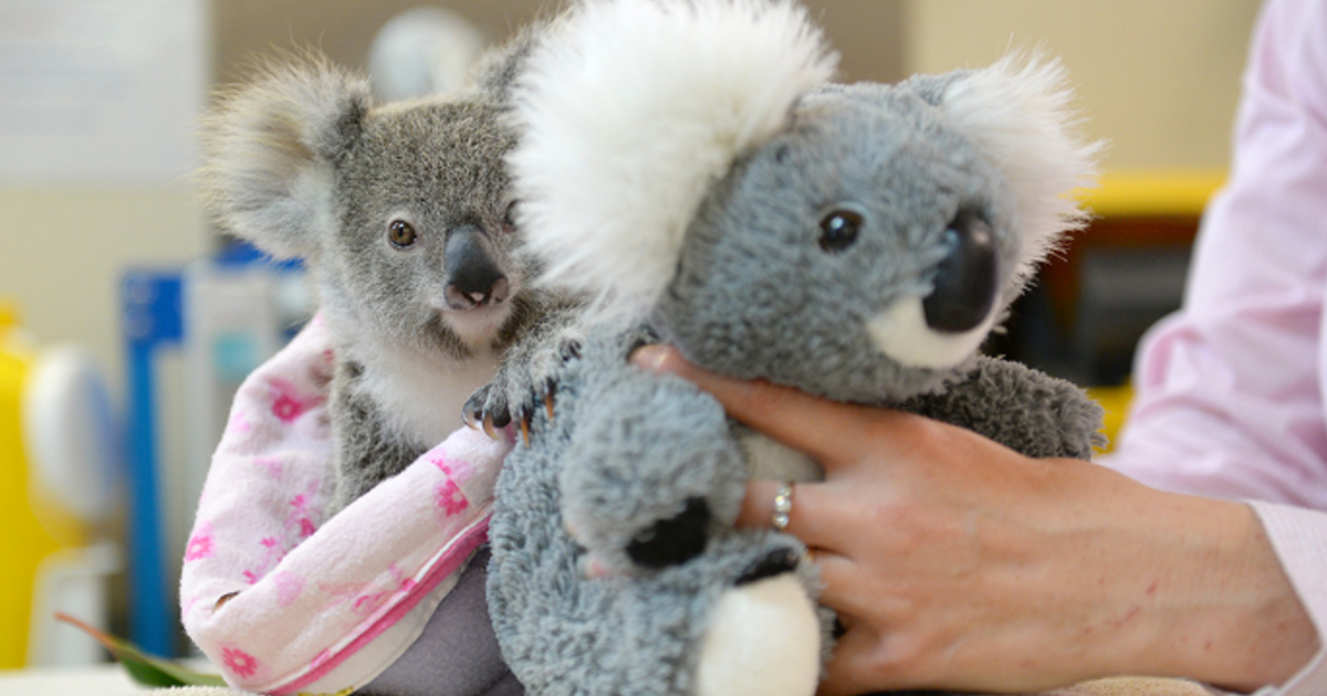 Orphaned baby koala finds comfort in stuffed animal after mom's tragic death