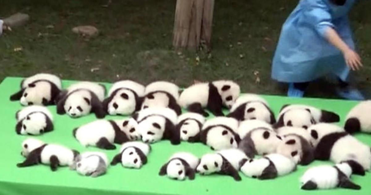 Baby Panda Cubs Make Debut In China Cbs News
