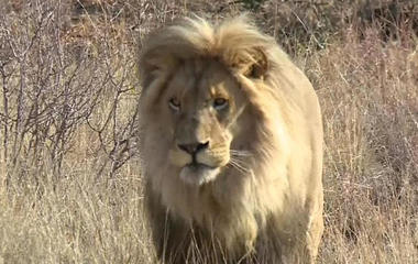 South Africa rejects efforts to ban lion hunting