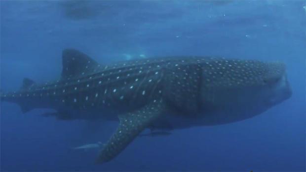 whale-shark-620.jpg
