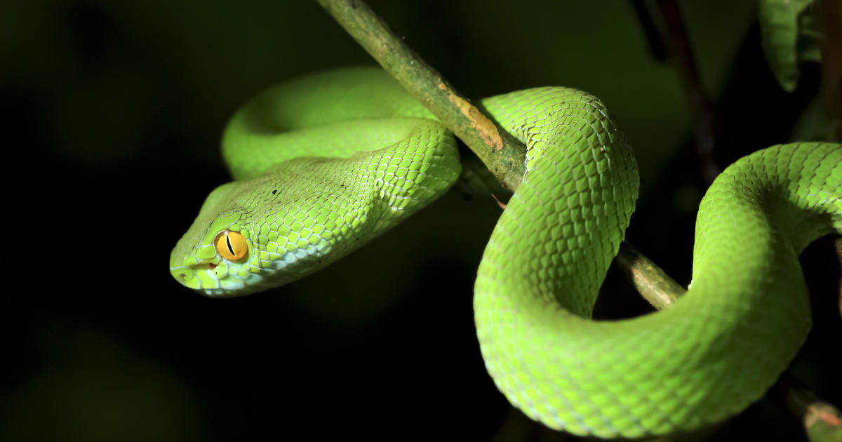 snakes used to have arms and legs  u2013 until these mutations