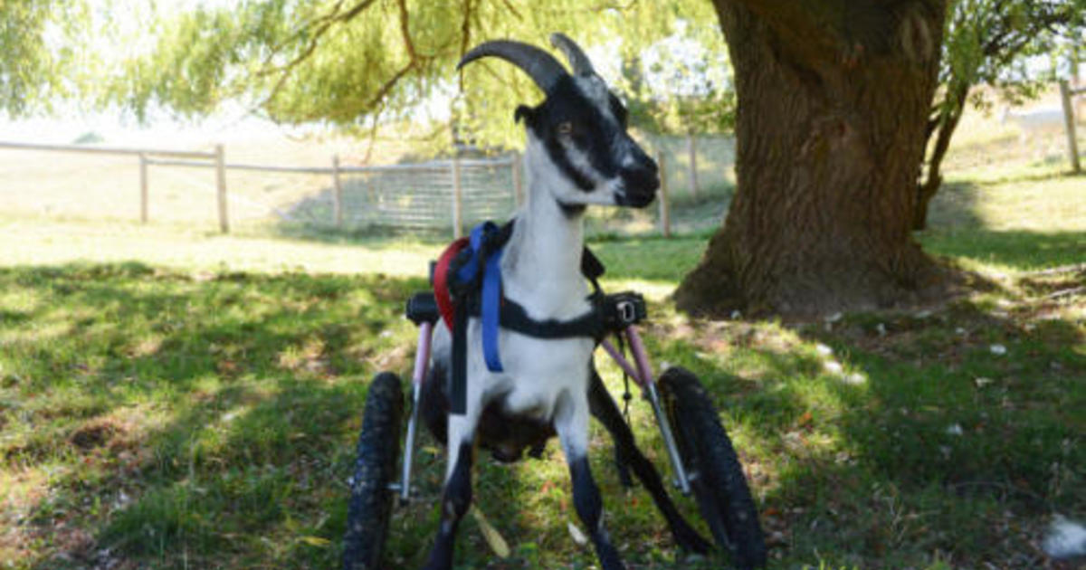 Little Goat Rescued From Backyard Butcher Gets New Wheels, New Lease On  Life   CBS News