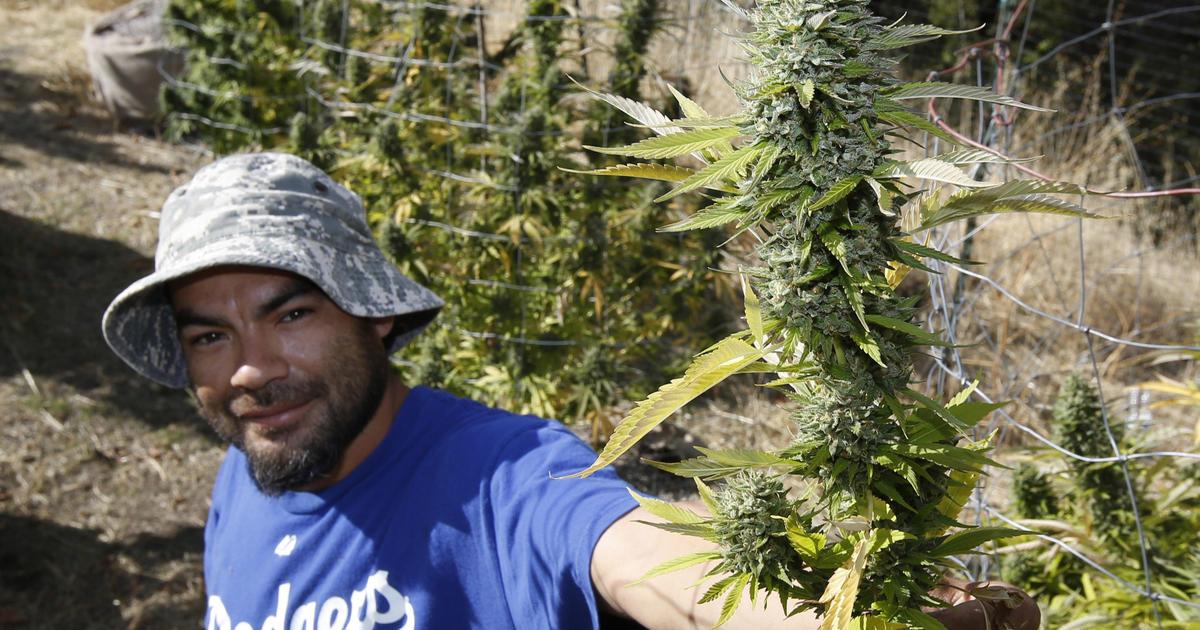 not all california marijuana farmers want pot legalized