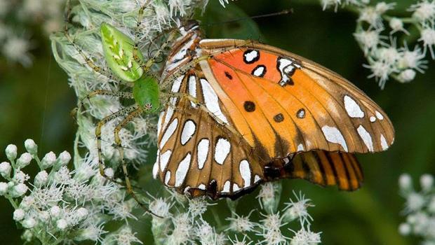spider-green-lynx-captures-butterfly-verne-lehmberg-05-620.jpg