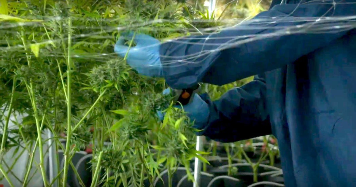 Tilray Shows The Highs Lows Of Investing In Pot Cbs News