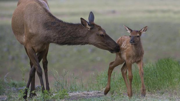 female-elk-with-baby-verne-lehmberg-620.jpg