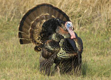 male-turkey-displaying-verne-lehmberg-244.jpg