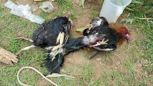 dead-roosters.jpg
