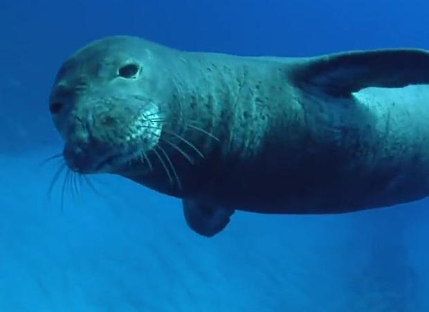 hawaiian-monk-seal-promo.jpg