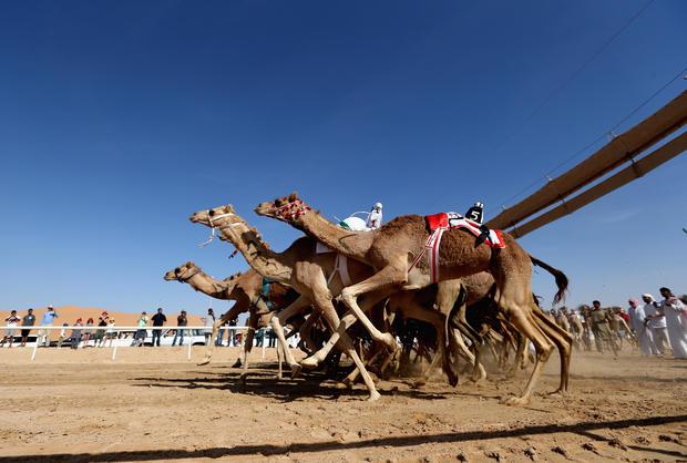 Camel racing with robot jockeys