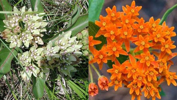 native-antelope-horn-and-butterfly-milkweed-verne-lehmberg-620.jpg