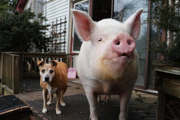 Meet Esther The Wonder Pig Family Adopts Micro Pig Then It Grows