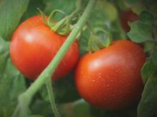 tomatoes-on-vine-cbs.jpg