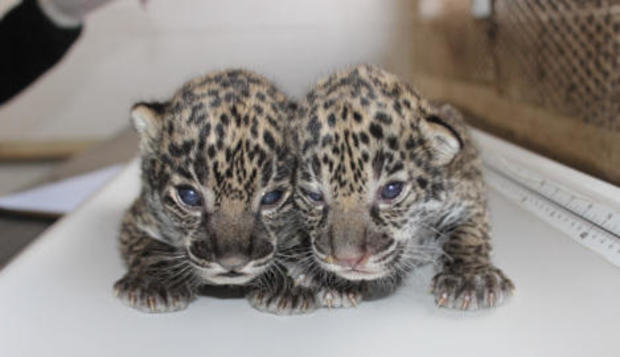 philadelphia-zoo-jaguar-cubs-2017-1-31.jpg