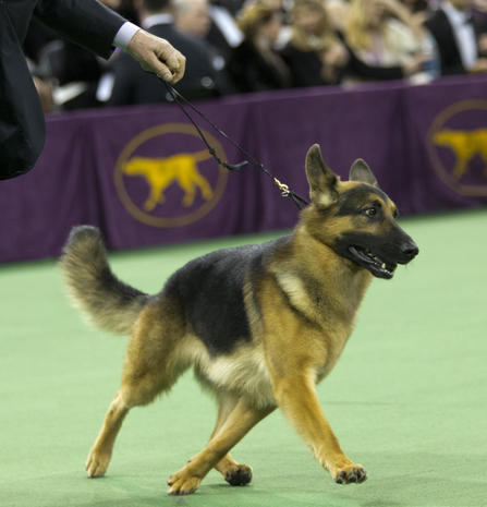 The most popular dog breeds in America
