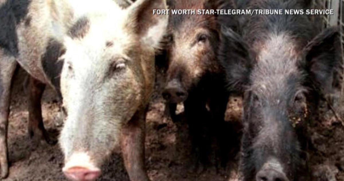 Fearing Feral Hog Apocalypse Texas Approves Feral Hog Poison Cbs News