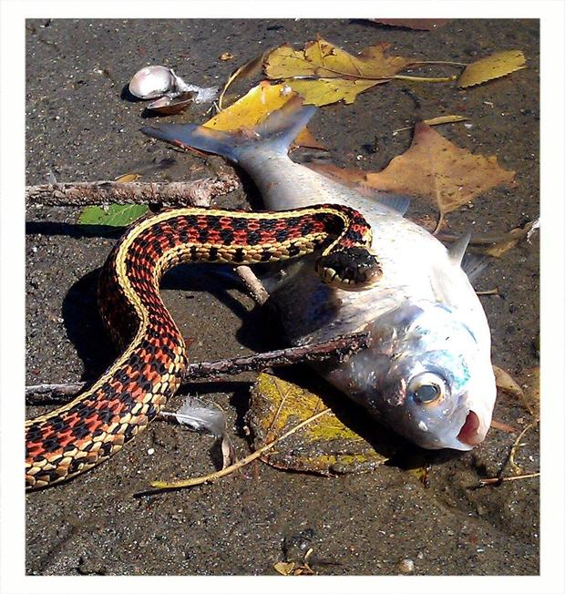 garter-snake-gizzard-jessica-mounts.jpg